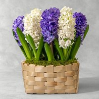 Scented British Hyacinths Bulbs Planter Vibrant