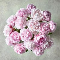 Medium Scented British Peonies Posy Pink