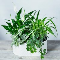 Mixed Foliage Lily Planter Foliage