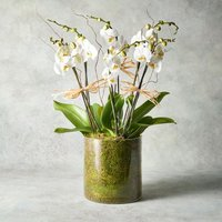 Triple Twin Stem Phalaenopsis Orchid White