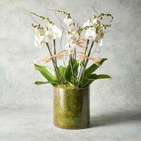 Triple Twin Stem Phalaenopsis Orchid White