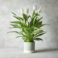 Giftwrapped Peace Lily Plant White