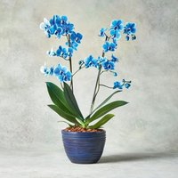 Father's Day Blue Orchid Blue
