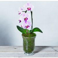 Pink Cascade Phalaenopsis Orchid Pink