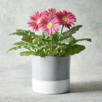 Gerbera Planter Pink