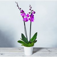 Twin Stem Phalaenopsis Orchid Pink
