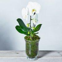 White Cascade Phalaenopsis Orchid White