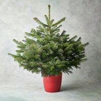 3-4ft Potted British Christmas Tree Foliage
