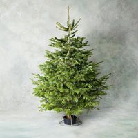 6ft British Nordmann Fir Christmas Tree in Stand Foliage