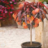 Patio Peach tree 'Crimson' (R)