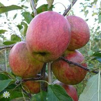 Apple Falstaff on M26 potted