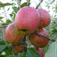 Apple Falstaff on M26 potted