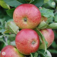 Apple Fiesta on M26 potted tree