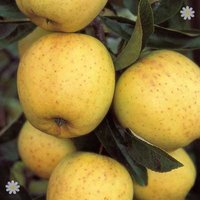 Apple Golden Delicious on M26 potted tree