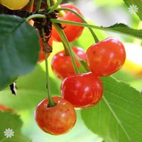 Cherry Bigarreau Napoleon bare root tree