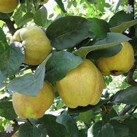 'Sibley's Patio Quince' tree 2L pot
