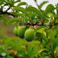 'Sibley's Patio Gage Reine-Claude' tree 2L pot