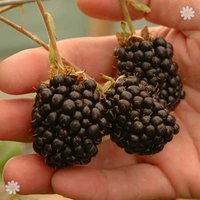 Blackberry Reuben plant 2L pot