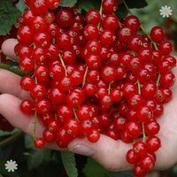 Redcurrant Rovada - pack of 2 bushes