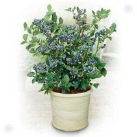 Blueberry Plant collection - pack of 3 varieties