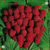 Premium Primocane Raspberry