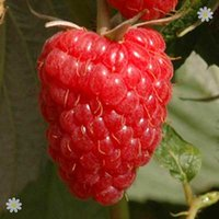 Raspberry Long Cane