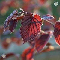 Corylus maxima Purpurea (Purple Hazelnut) bush