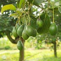 Avocado Tree 5L 1M talll