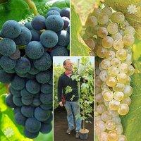 Pair of Grapes - Boskoop & Phoenix 1.8M