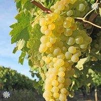 Grape Vine 'Supaga' (White) 1L