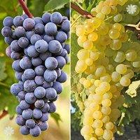 Pair Grapevines 1L -