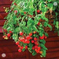 Tumbling Tomato plants x 12 plugs
