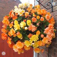 Begonia 'Illumination Apricot Shades' x 12