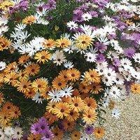 12 Sunbrella Osteospermum Plug Plants