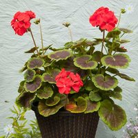Geranium 'Black Velvet' Scarlet - Set of 18 Plug Plants