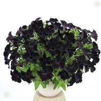 Black Petunia 'Back to Black' - 12 plugs