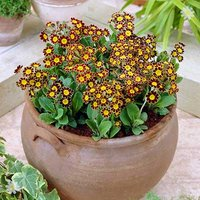 Primula 'Gold Lace' - pack of 12 jumbo plugs