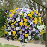 Trailing Hardy Pansy 'Cool Wave' - pack of 12 jumbo plugs