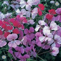 Geranium Summertime Trailing - pack of 24 large plugs