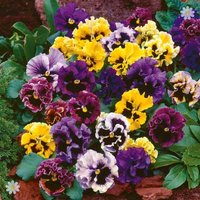 Pansy 'Frizzle Sizzle' pack of 12 jumbo plugs