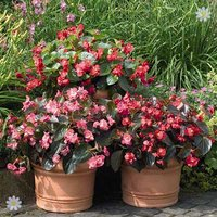 Begonia 'Big/Whopper Mix' x 12 jumbo plugs