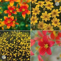 Trailing Bidens Plants 'Hot & Firey' mix x 12 plugs