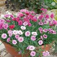 Hardy Devon Pinks collection - pack of 12
