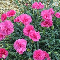 Patio Pinks Dianthus 'Scents of Summer' x 12 plugs