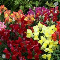Anthirrhinum Liberty Mix 40 plug plants