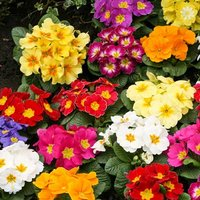 Primrose 'Alaska Mixed' 40 maxiplugs