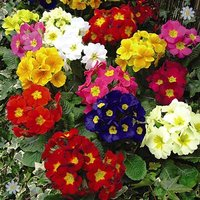 Polyanthus 'Crescendo Mixed' 40 maxiplugs