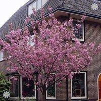 Flowering Cherry tree Prunus Kanzan bare root