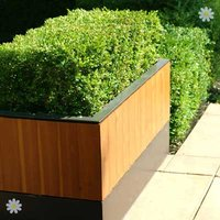 Box Hedging (Buxus sempervirens) 9cm pot 15-20cm tall