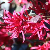 Pair of Chinese Witch Hazel 'Black Pearl' plants in 1L pot